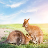 Kangaroo feeding, suckling. — Stock Photo