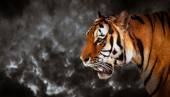 Wild tiger looking — Stock Photo