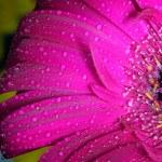 Fresh wet gerbera flower — Stock Photo #54560491