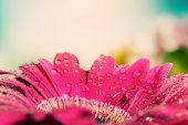 Wet gerbera flower at spring. — Стоковое фото