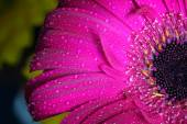 Fresh wet gerbera flower — Stock Photo