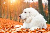 White dog lying in autumn leaves — Stock Photo