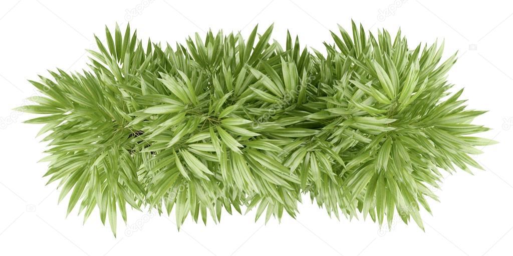 Vista dall 39 alto della pianta di bamb in vaso isolato su for Pianta bambu prezzo