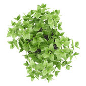 Top view of balm plant in pot isolated on white background — Stock Photo