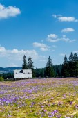 Crocus blooming in the mountains — Stock Photo