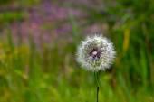 Dandelion in green grass — Stock Photo
