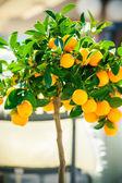 небольшое декоративное дерево мандарин — Стоковое фото