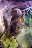 Pygmy marmoset — Stock Photo