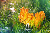 Blurry grass with autumn crash leaf — Stock Photo