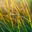 Morning dew. Grass at sunshine — Stock Photo #54526485