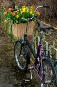 Bicycle with tulips — Stock Photo