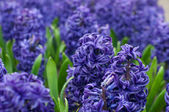 Colorful hyacinth flowers — Stock Photo