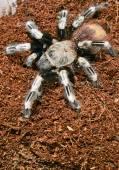 Goliath bird eater spider — Stock Photo