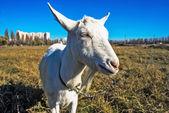 Funny goat's portrait — Stock Photo