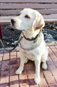 Labrador retriever — Stock Photo