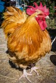 Red cock — Stock Photo