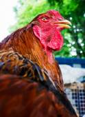 红公鸡 — 图库照片
