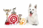 Swiss Shepherd dog on  white background — Stock Photo