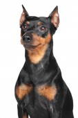 德国杜宾犬 — 图库照片