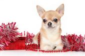 Chihuahua dog in garlands — Stock Photo