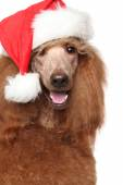 Royal poodle in Christmas Red hat — Stock Photo
