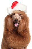 Royal poodle in Santa Christmas hat — Stock Photo