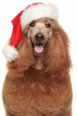 Royal poodle in Santa red hat — Stock Photo