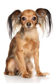 Russian long haired Toy Terrier — Stock Photo