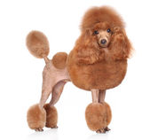 Toy-Poodle on a white background — Stock Photo