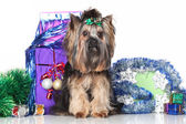 Yorkshire Terrier on a background of Christmas gifts — Stock Photo