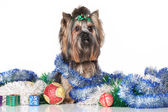 Yorkshire Terrier in Christmas gifts and garlands — Stok fotoğraf