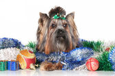 Yorkshire terrier in Christmas garlands — Stok fotoğraf