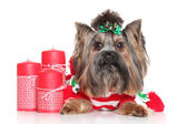 Yorkshire Terrier with red Christmas candles — Stok fotoğraf