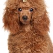Постер, плакат: Red Miniature poodle