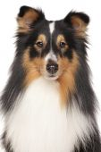 Portrait of Shetland Sheepdog — Stock Photo
