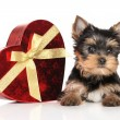 Yorkshire terrier puppy and red heart — Stock Photo #73813017