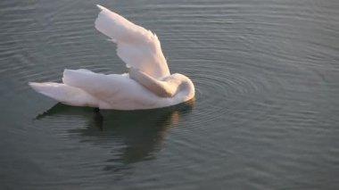 Swan swimming in the lake — Stock Video