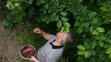Man picking cherries from the tree — Stockvideo