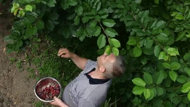 Man picking cherries from the tree — Vídeo de stock