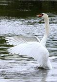 Swan — Stockfoto