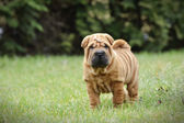 Chinese Shar pei puppy portrait — Stock Photo