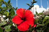Hibiscus and blue domed church in Oia, Santorini — Stock Photo