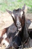 Black goat — Stock Photo