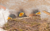 Young swallows in nest — Stock Photo