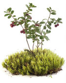 Cowberry on the moss — Stock Photo