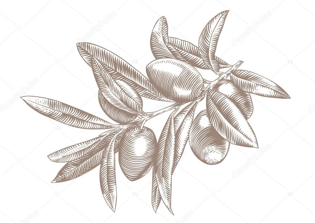 branche d 39 olivier avec les baies et les feuilles image. Black Bedroom Furniture Sets. Home Design Ideas