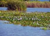 Jamaica. The blossoming hyacinths on the Black river (Eichornia crassipes — Stock Photo