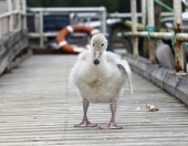 The baby bird of a swan  on the mooring — Stock Photo