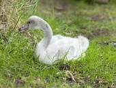 The baby bird of a swan — Stock Photo
