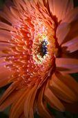 Red Transvaal daisy flower, small depth of sharpness — Stock Photo